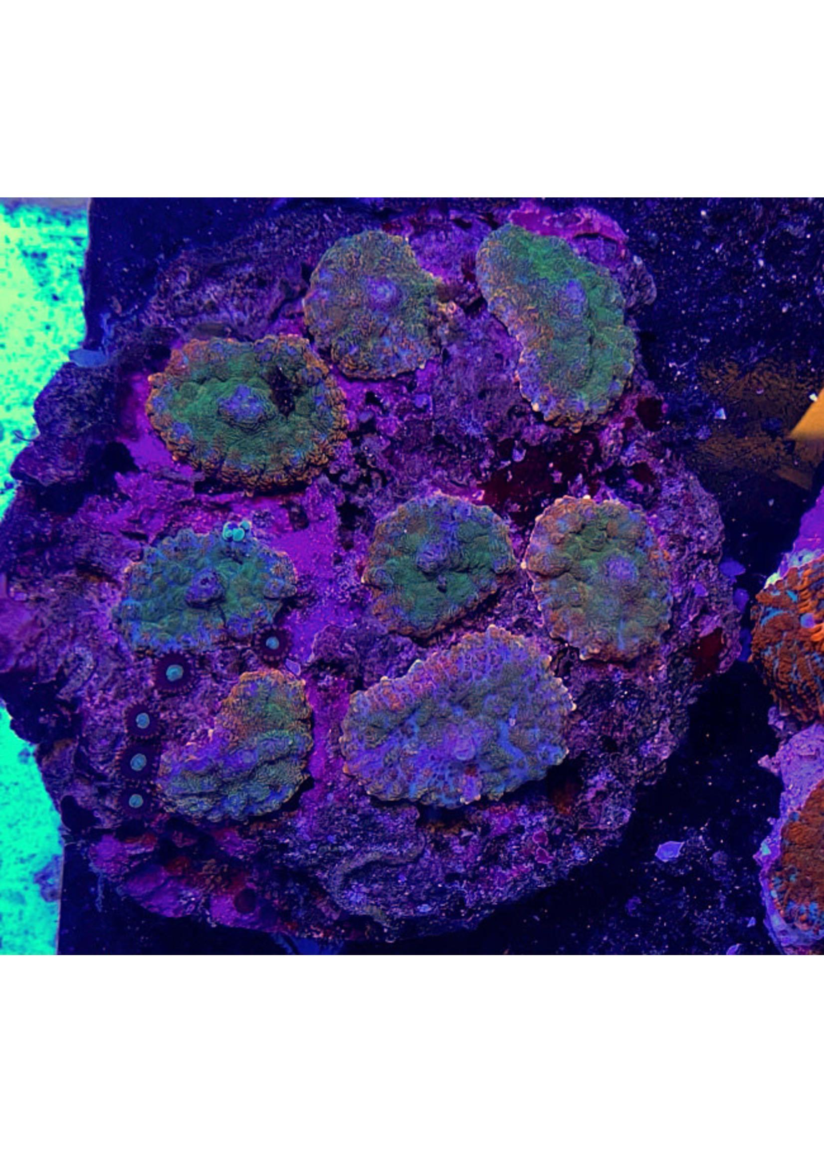 Mushrooms Indo Metalic Mushroom Rock  WYSIWYG