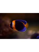 Angelfish Scribble Angelfish