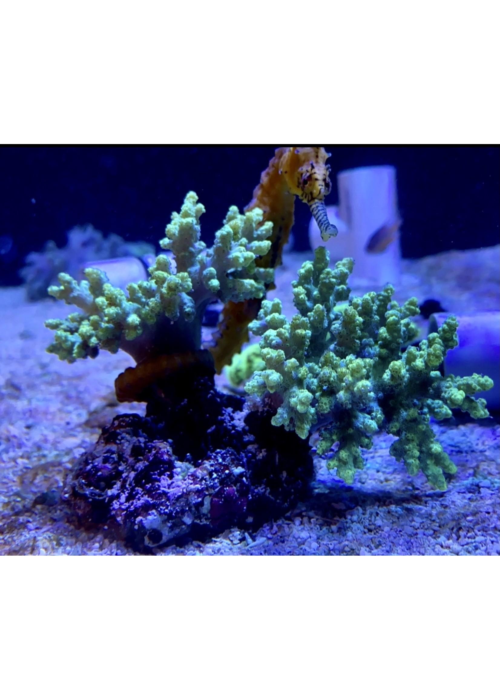 Leather coral Kupang Sinularia coral
