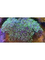 Polyps Star polyp colony
