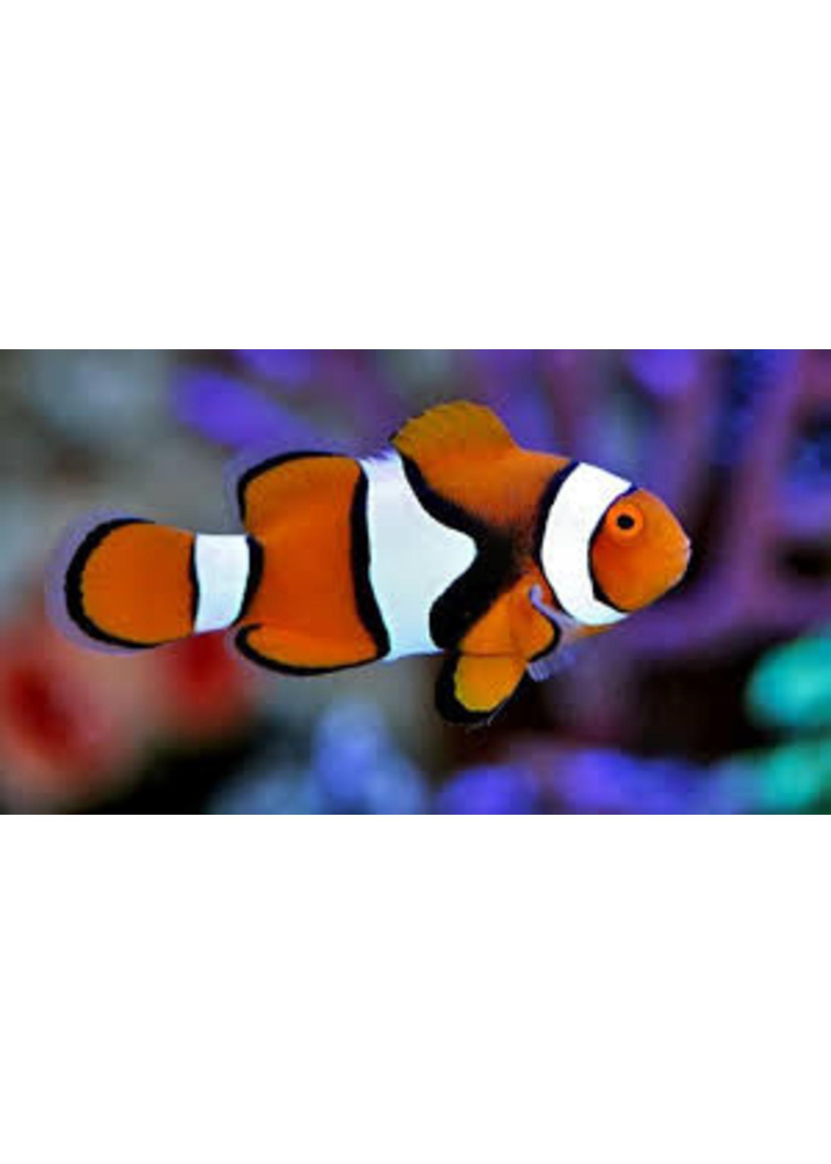 Clownfish Percula Clowmfish True