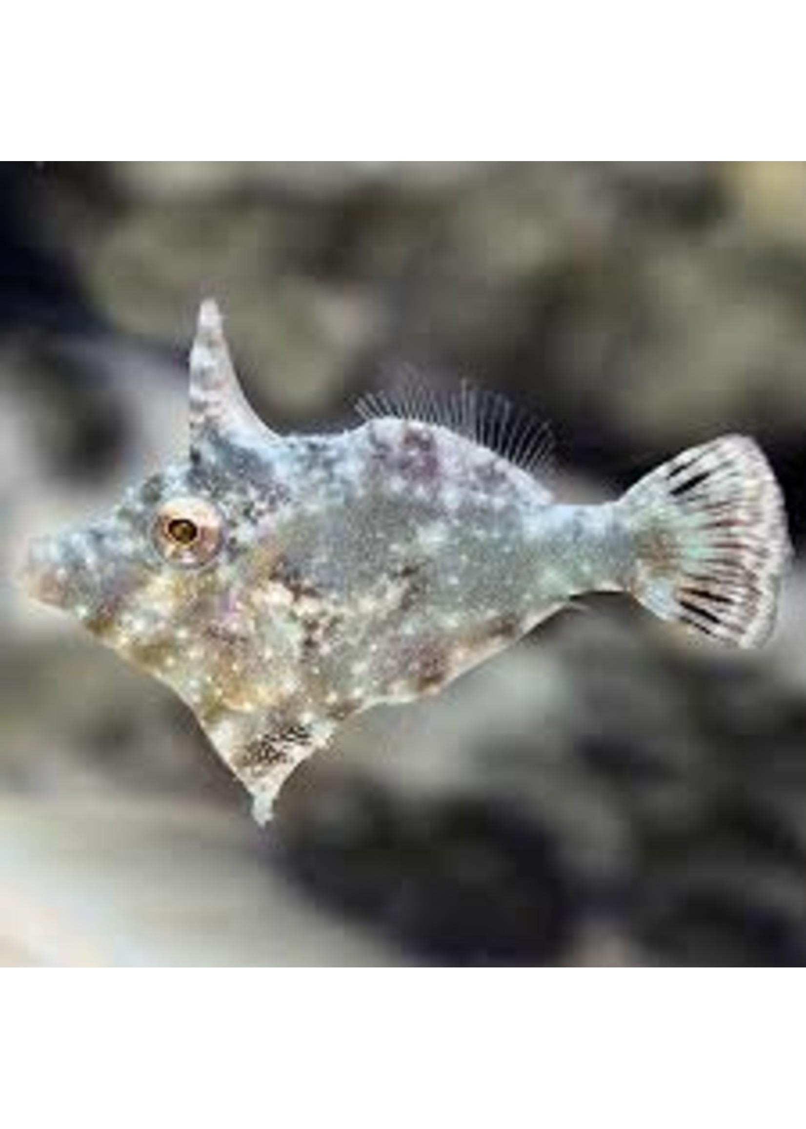 File Fish Apitasia Eating File Fish