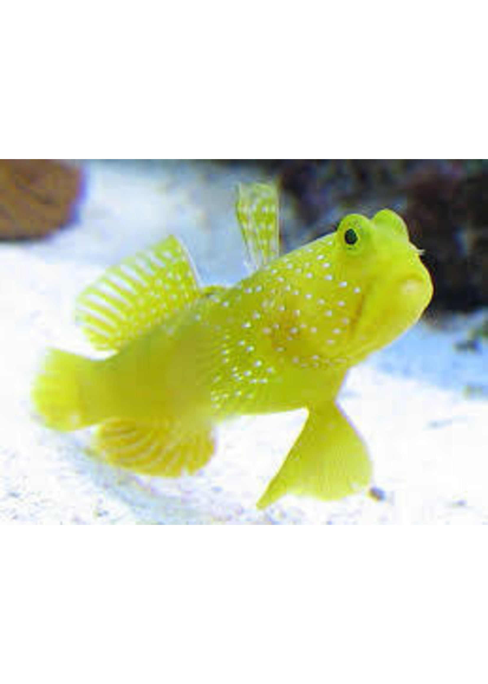 Goby Yellow Watchman Goby