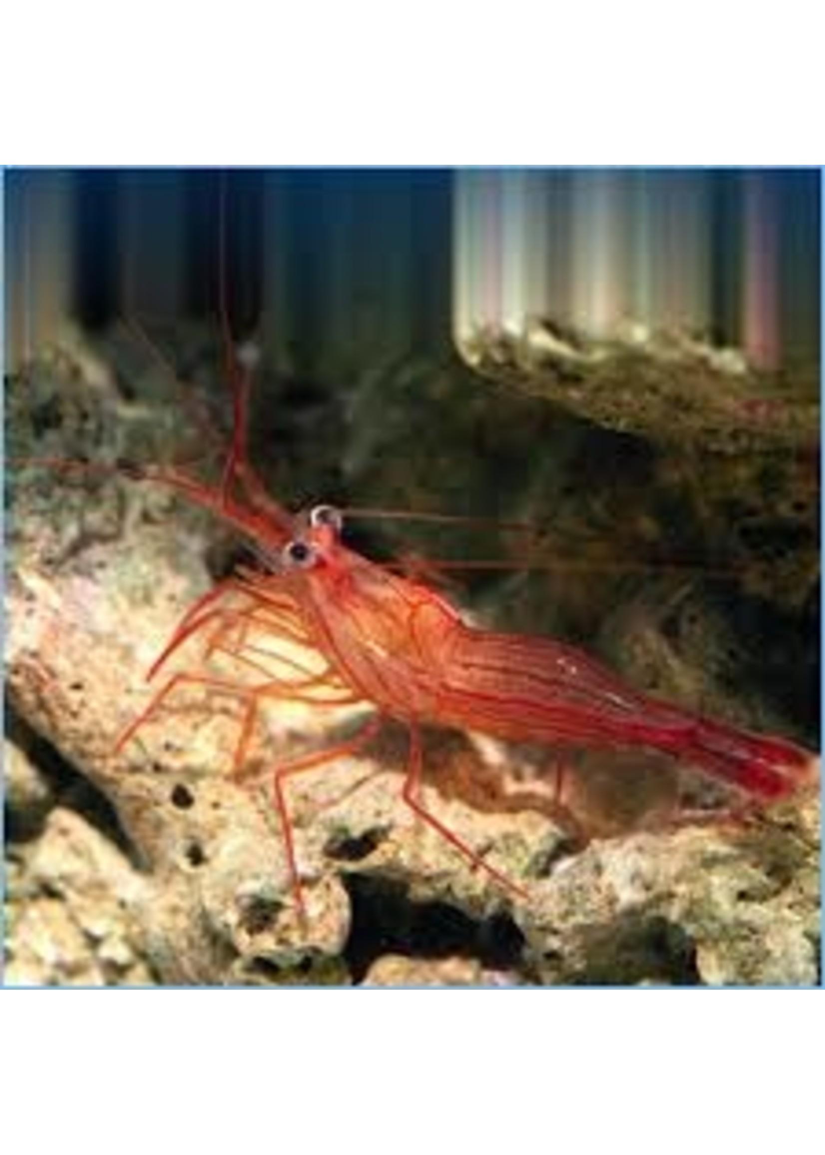 Shrimp Peppermint Shrimp
