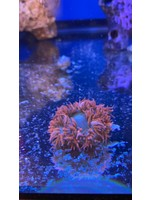 Rock flower Anemone Rock Flower Anenome