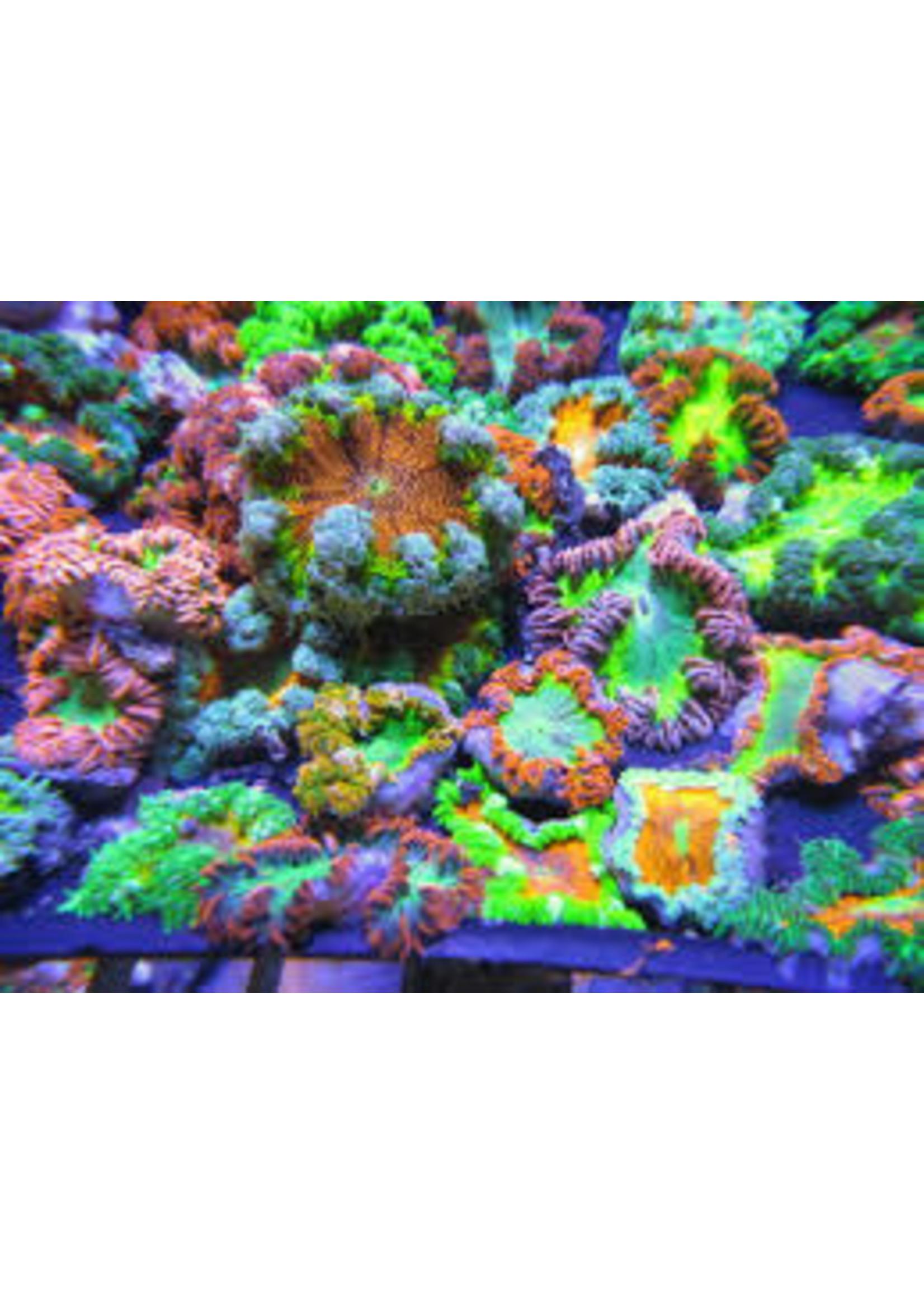 Rock flower Rock Flower Anenome Ultra
