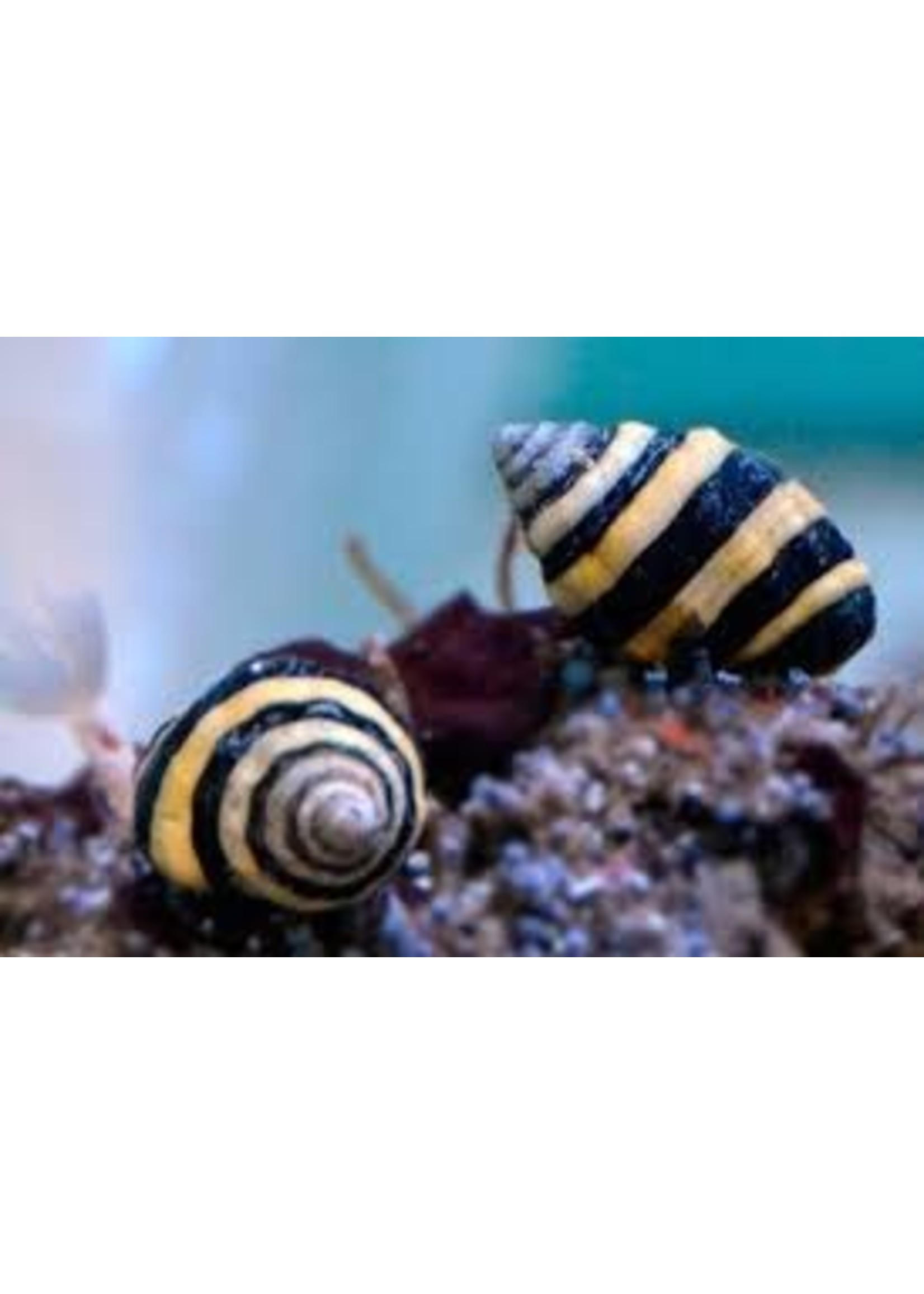 Bumble bee snails (5 lot)