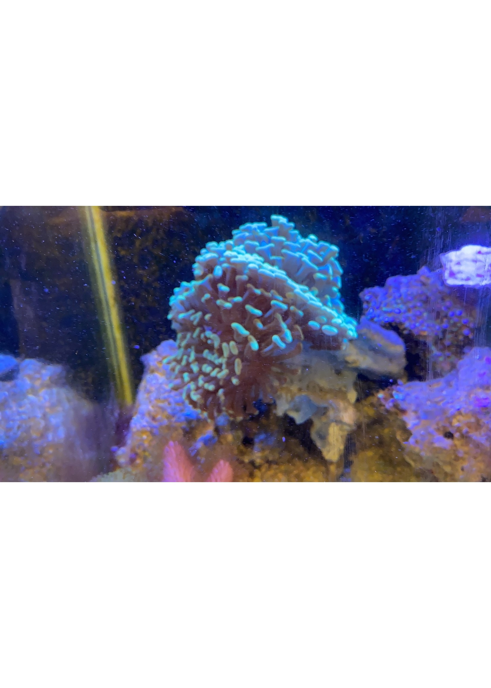 "Jumbo hammer coral 7"""