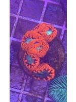 Australian Red  Blasto  Coral