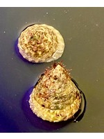 Snails Mexican Turbo Snail 10 lot