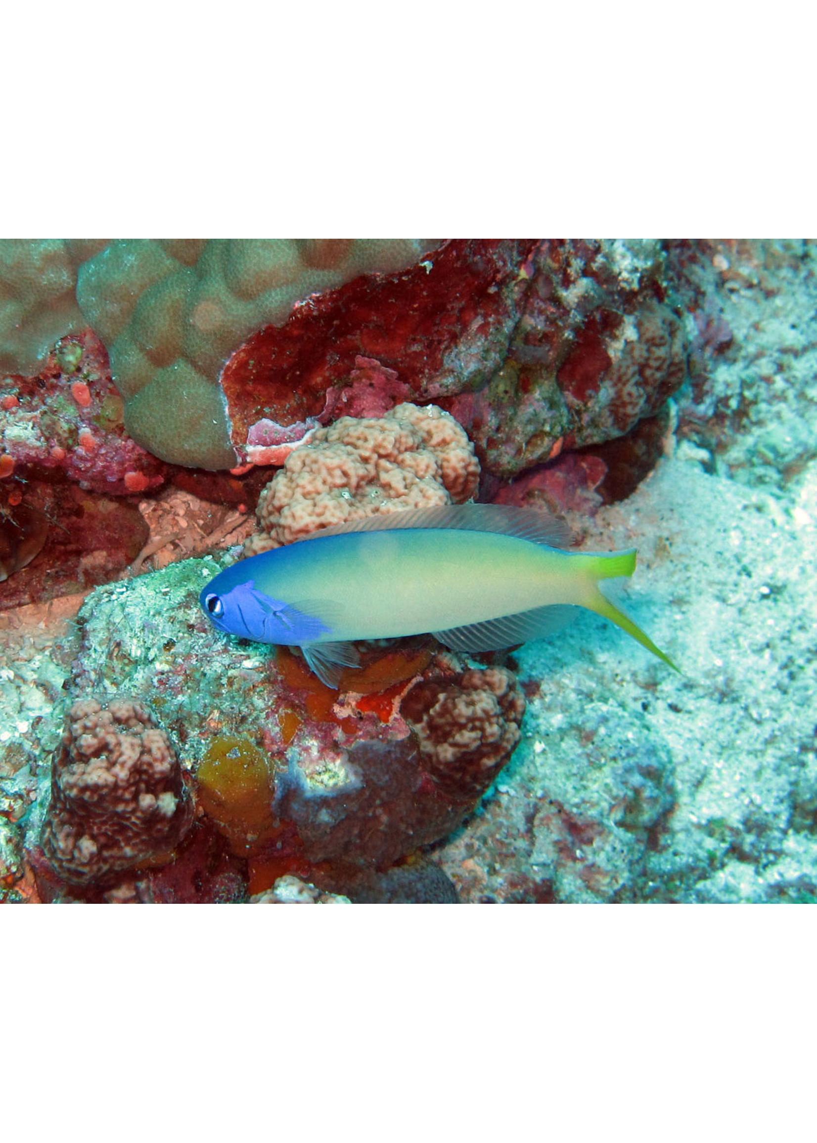 Dusky Tilefish