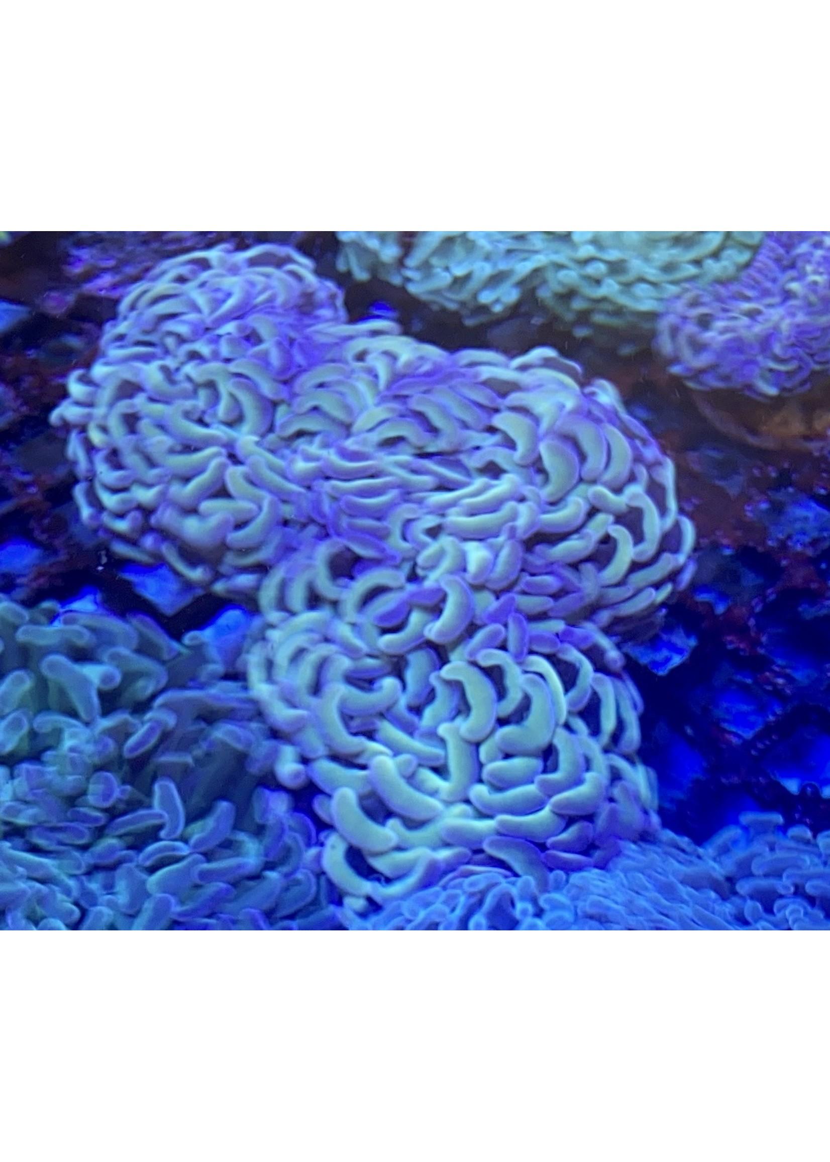 Australian Blue Haze Hammer Coral