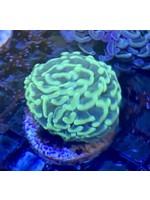 Hammer Australian Neon Pom Pom Hammer Coral
