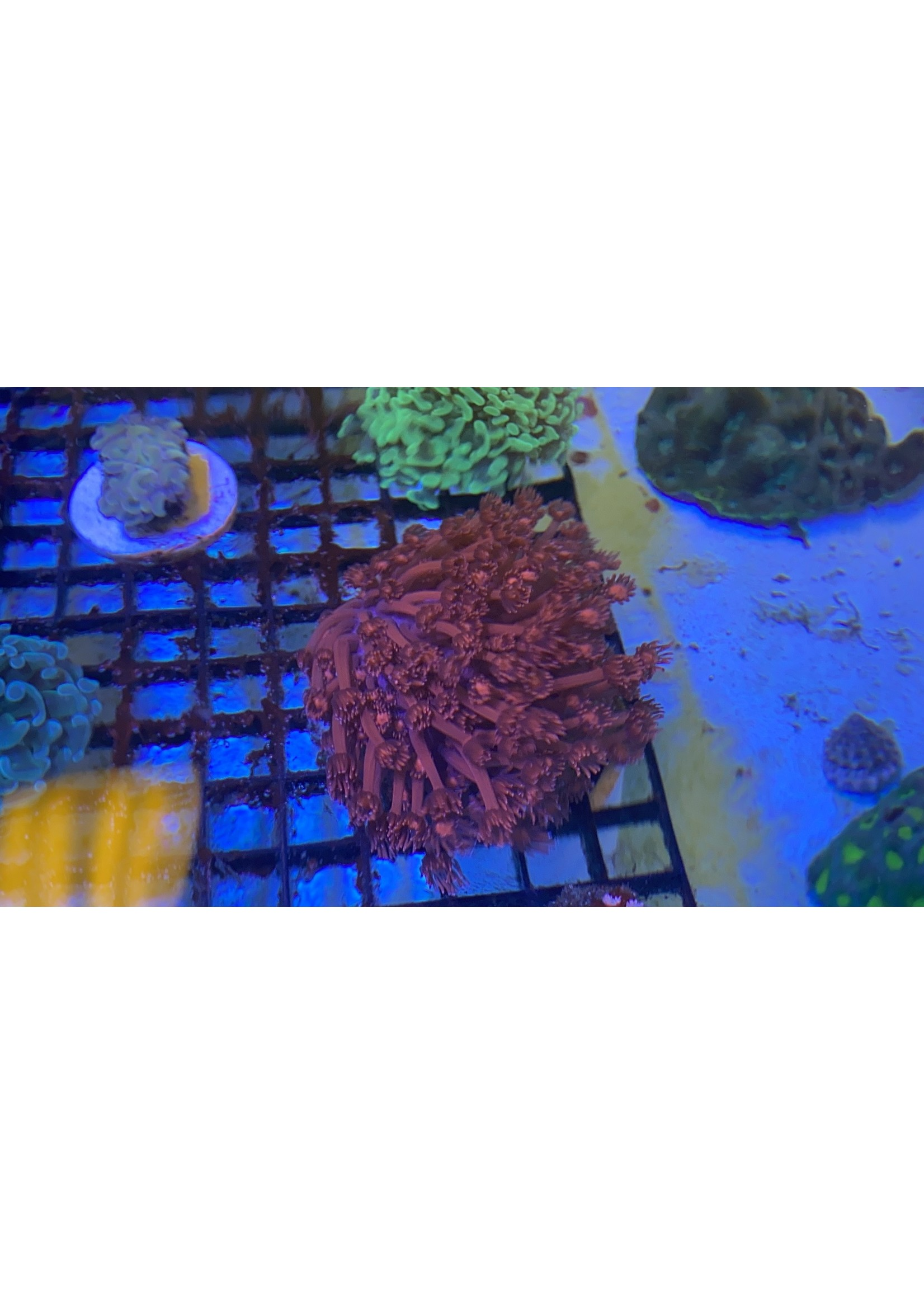 Indo  Blood Red Goniporia Colony Lg