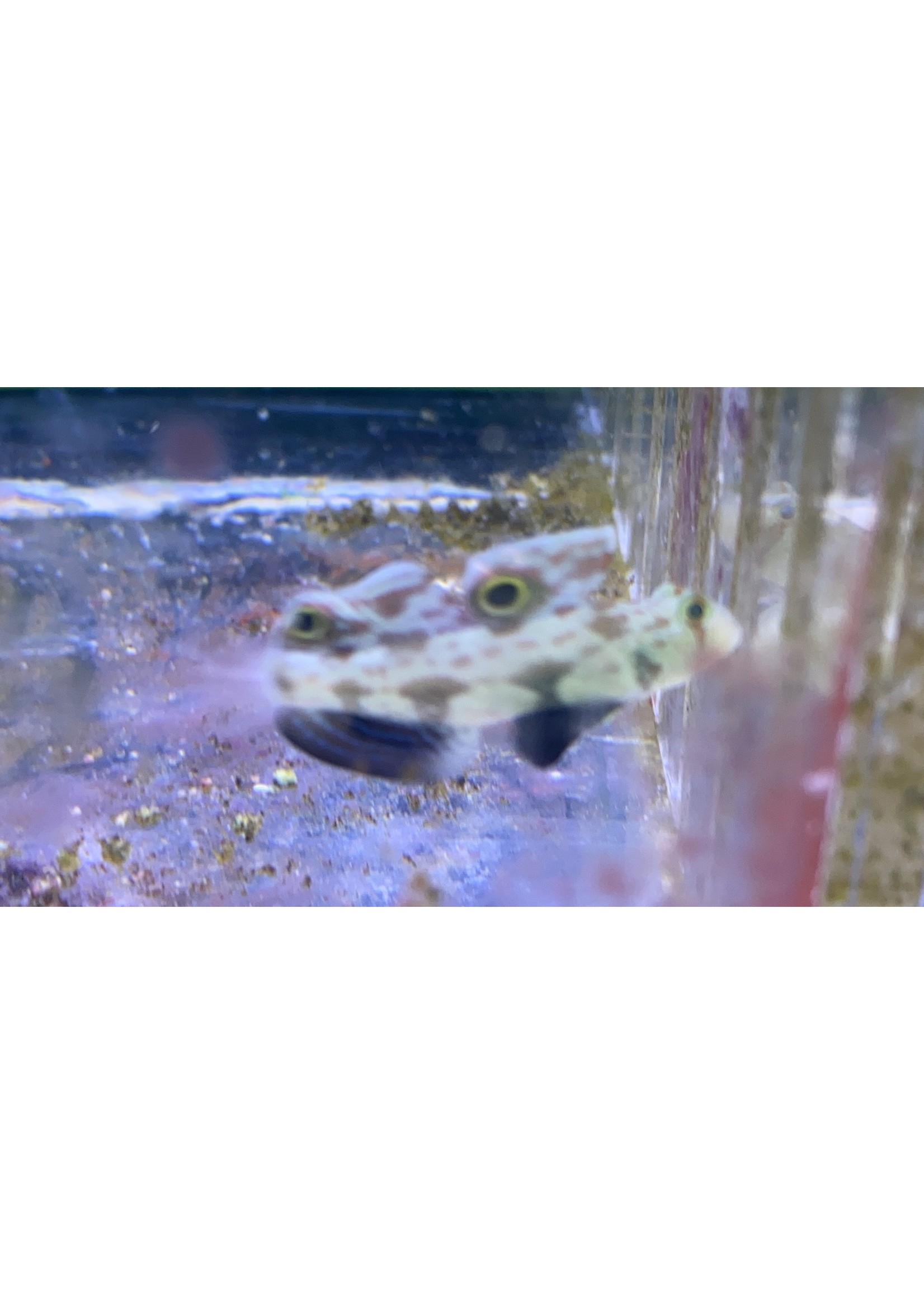 Goby Twin Spot Goby