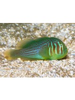 Goby Green Clown Goby