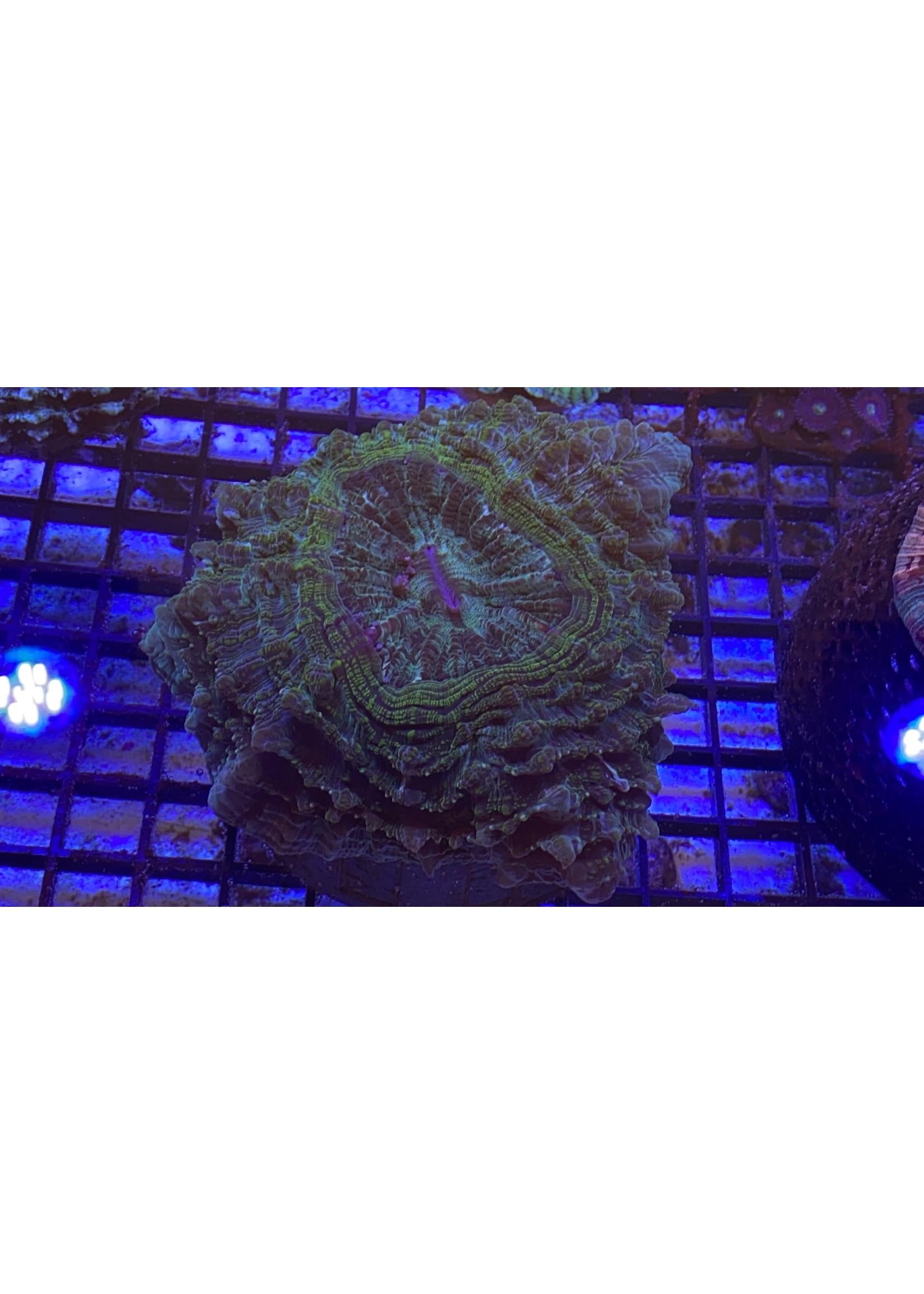 XL Australian Meat Coral