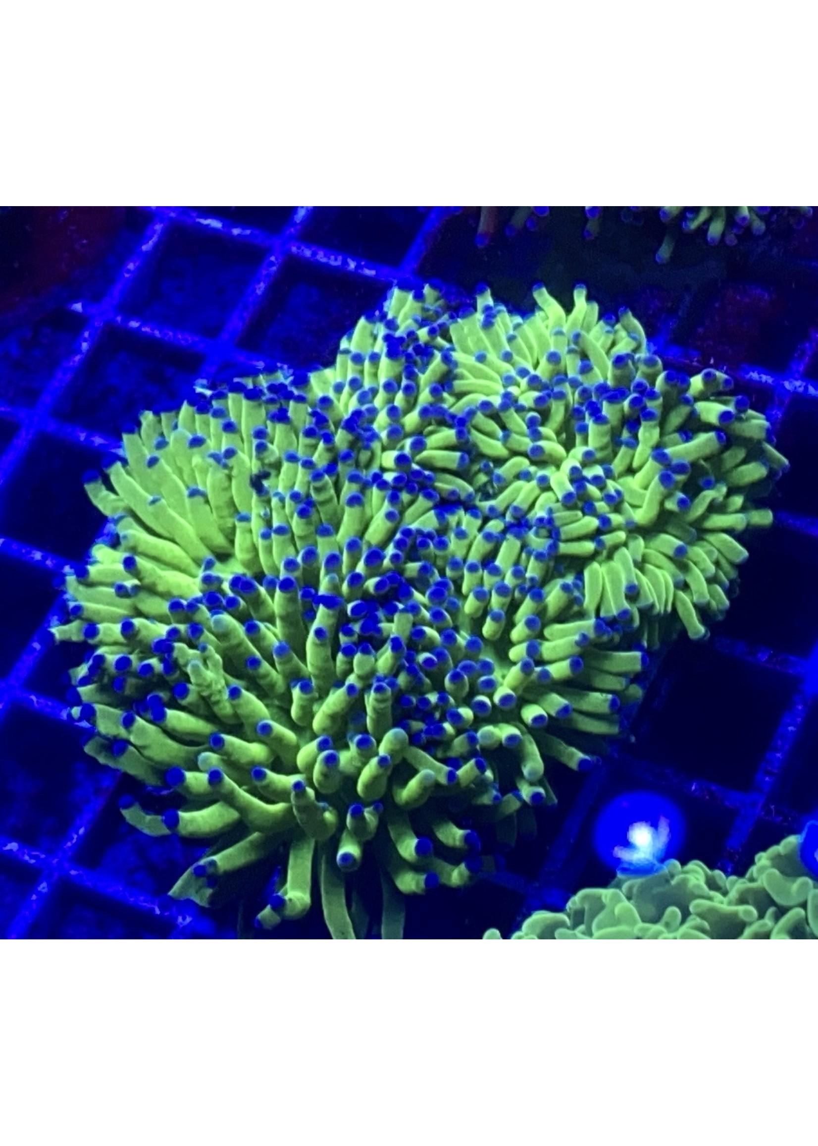 Torch Australian Green Blue Tip Torch PH