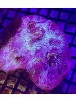 Strawberry Cheescake Chalice Coral lg WYSIWYG