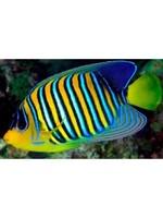 Angelfish Regal Angel (Yellow Belly) M/L