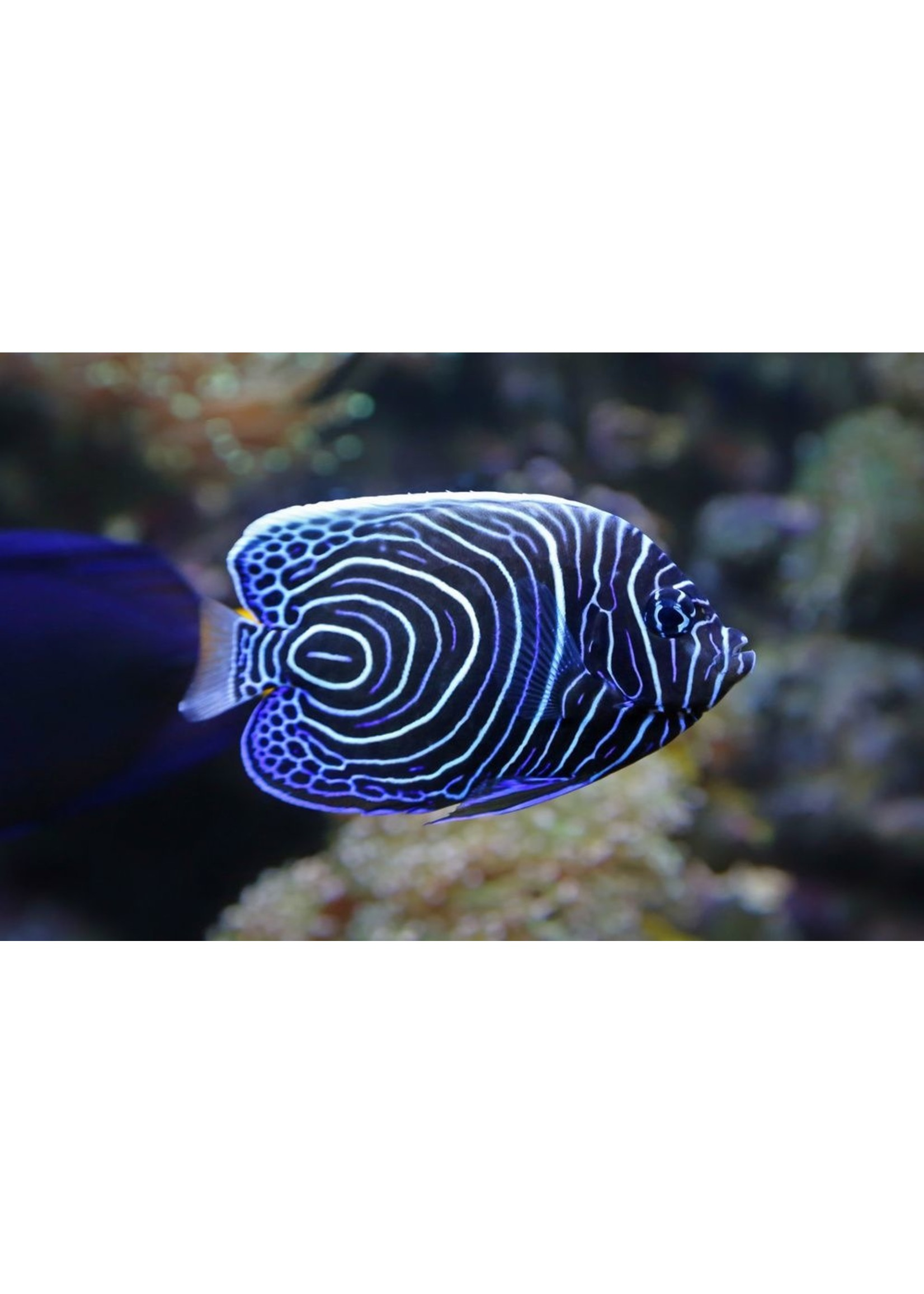 Angelfish Emperor Angelfish (Juv) M