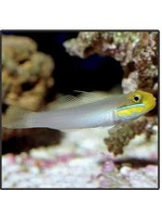 Goby Golden Head Tile Goby (M)