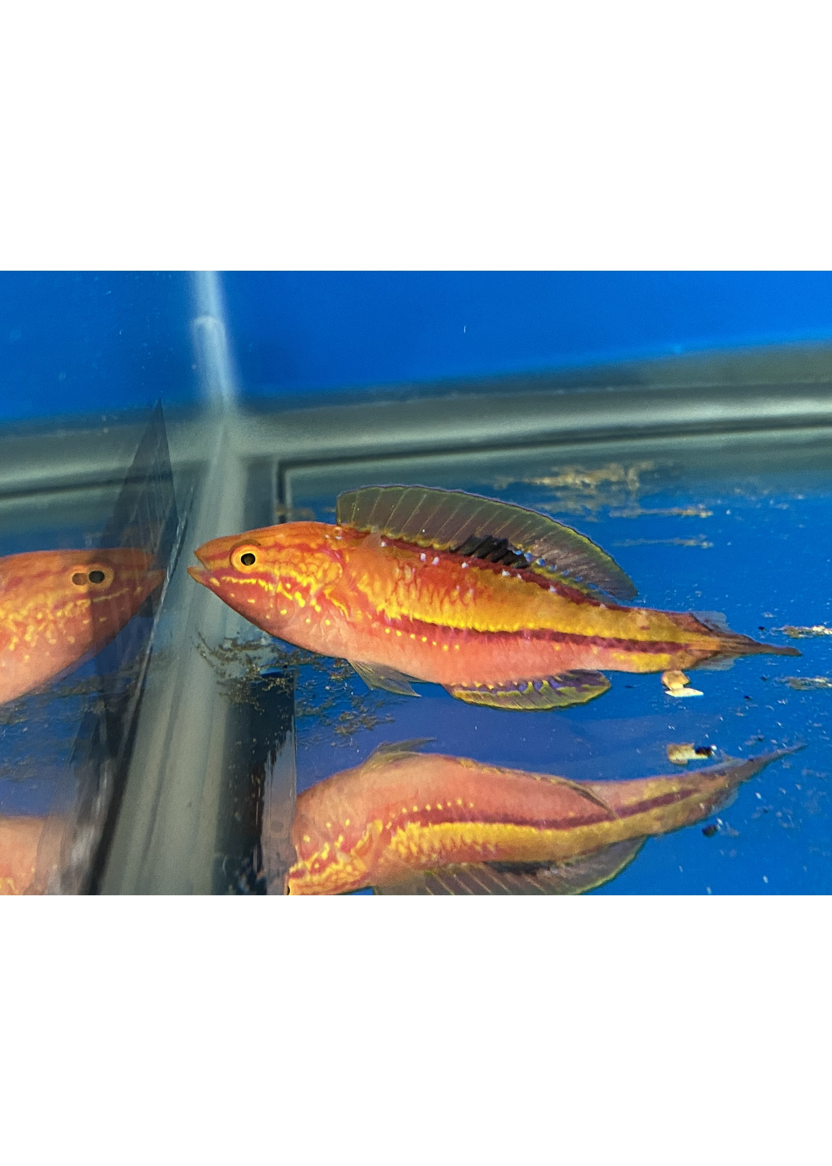 Wrasses Pin Tail Fairy Wrasse Adult  (L)