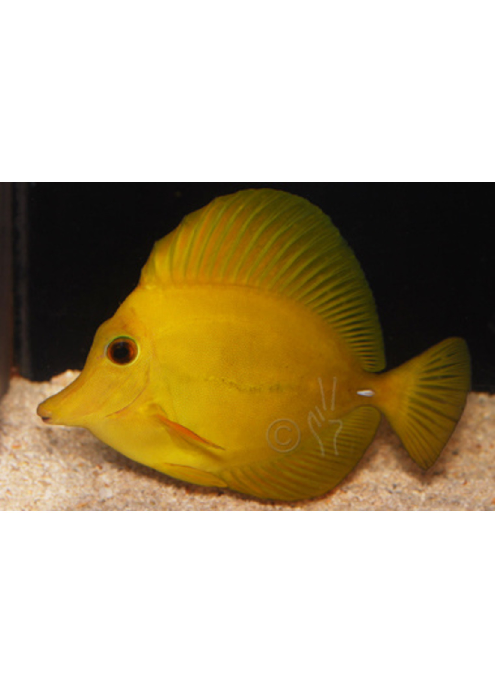 Tangs Yellow Scopas Tang (M)