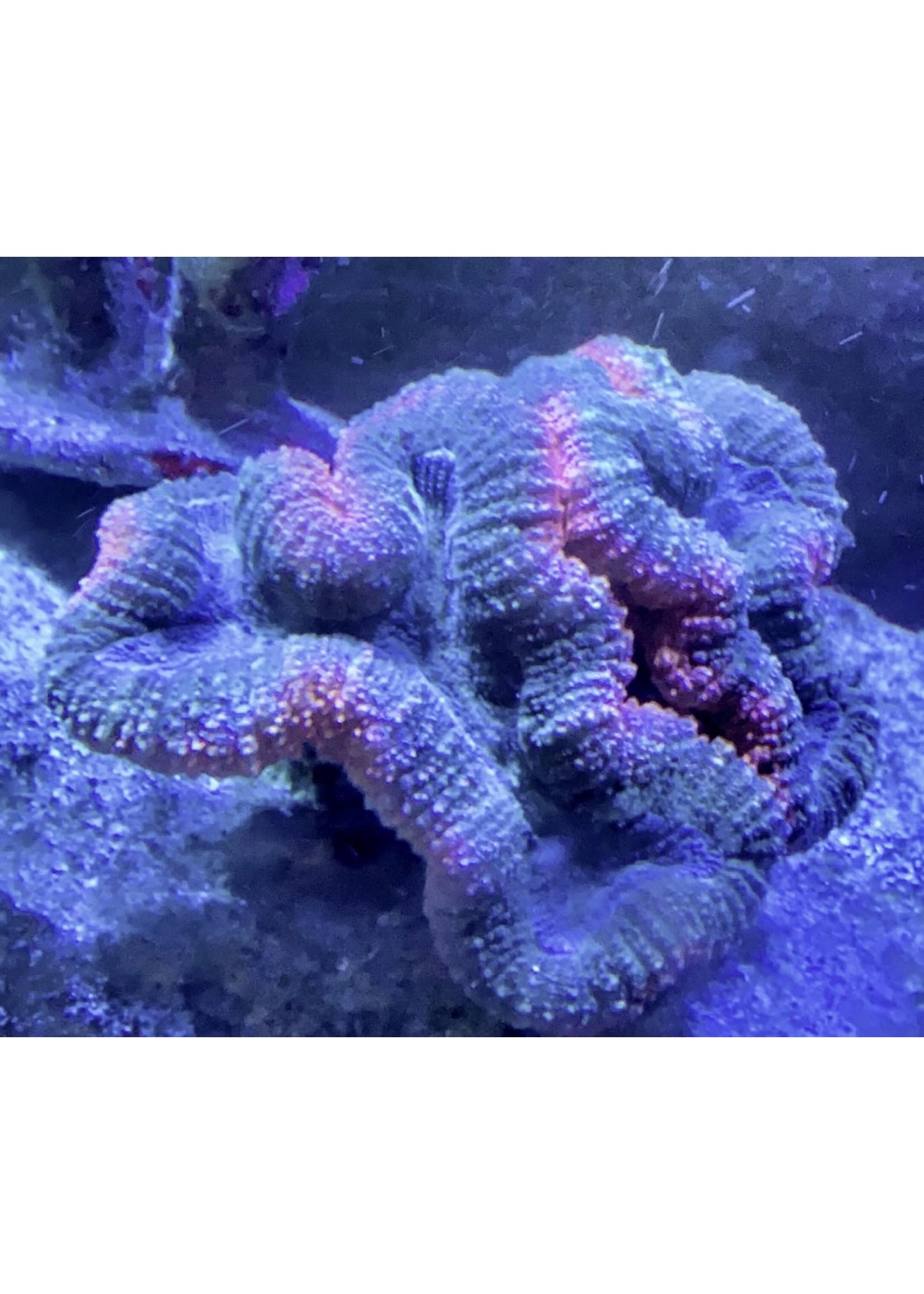 XL Multi Color Lobo Coral
