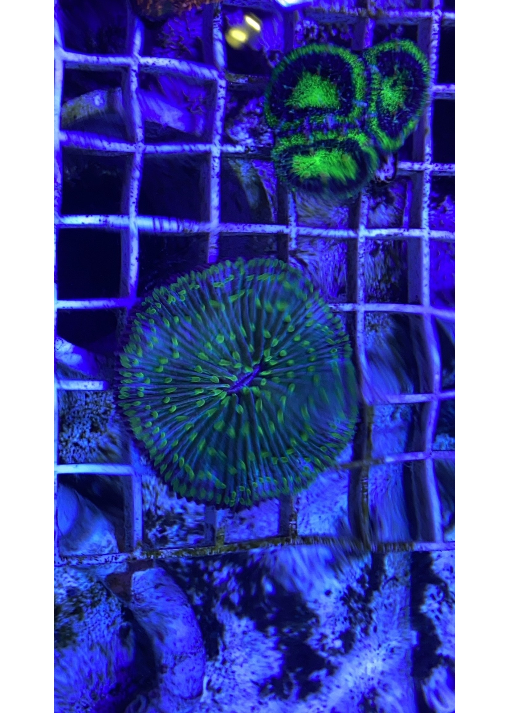 UFO Plate Coral