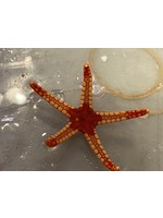 Red Starfish (Fromia)