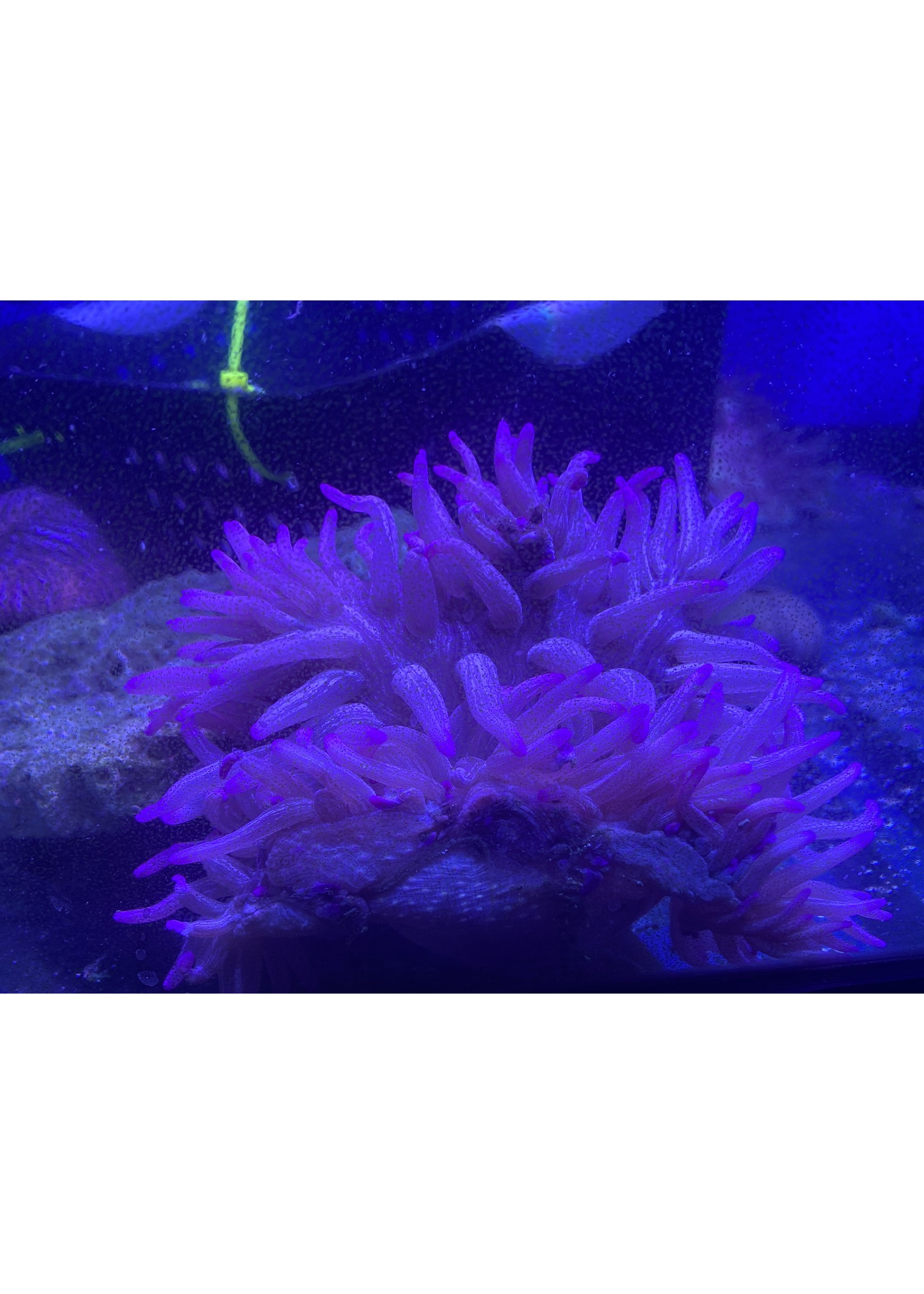 Anemone Purple Peppermint Long Tentacle Anemome