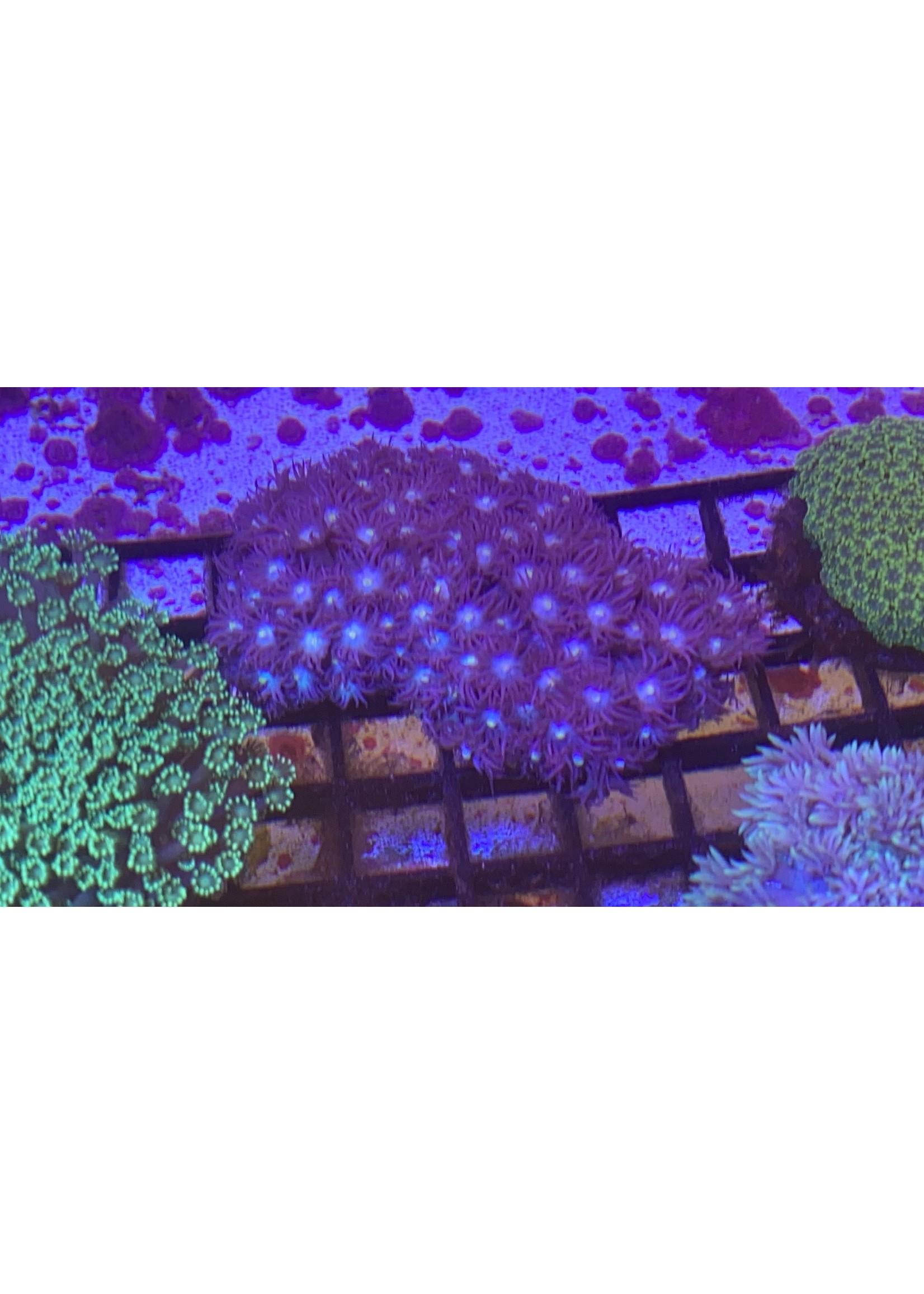 Goniopora Australian Purple Star Goniporia