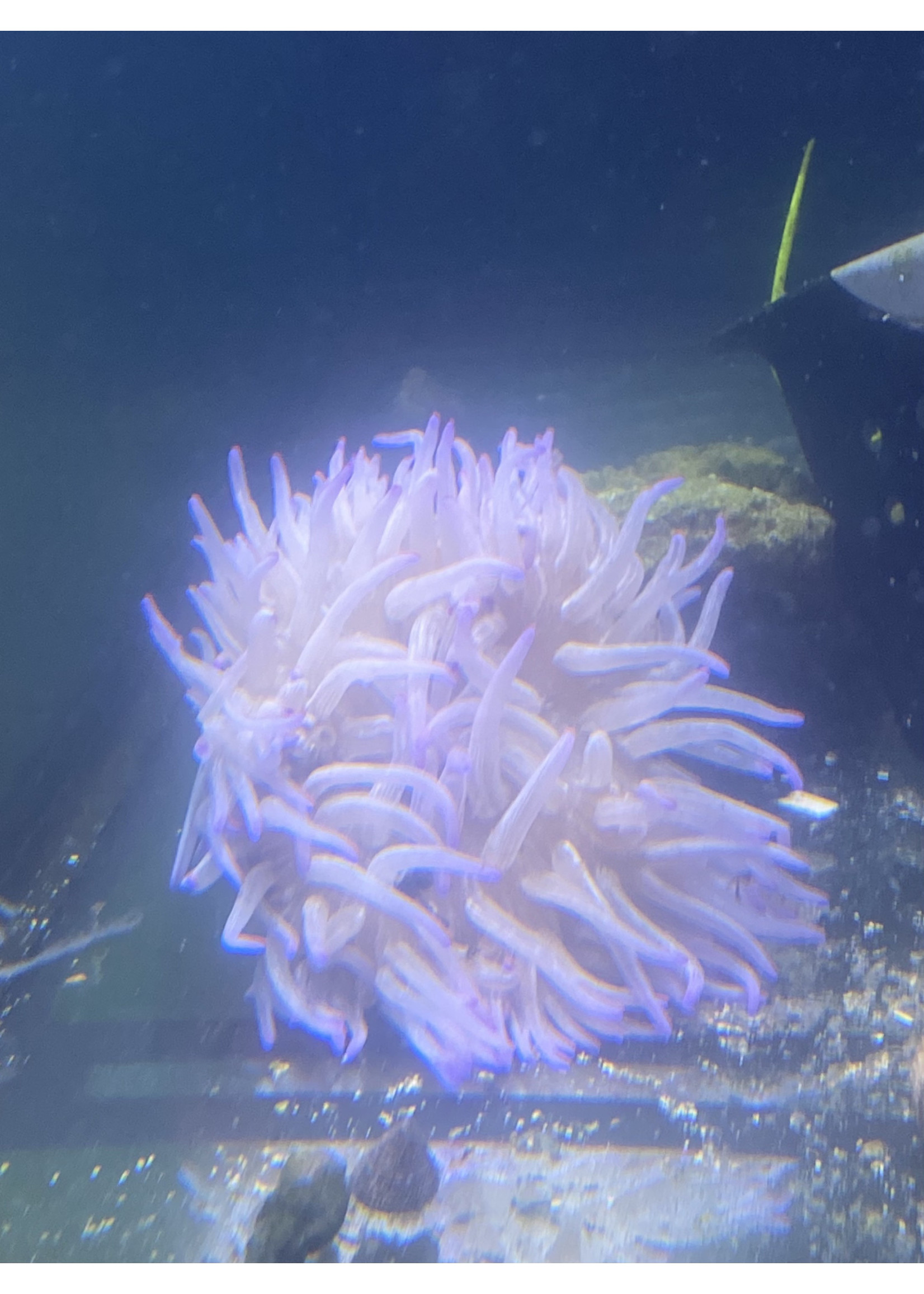 Anemone Purple peppermint Long Tentacle Anemone