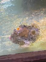 Anglerfish Anglerfish