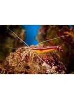 Shrimp Cleaner Shrimps