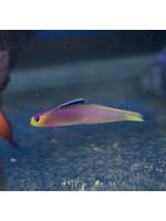FireFish Helfrichi FireFish