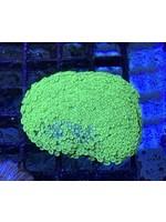 Alveopora Green Alevoporia Mini Colony