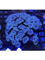 Duncan Australian Blue Duncan Colonies (8-10H)