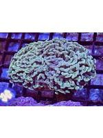 Hammer Australian Hammer Coral WYSIWYG