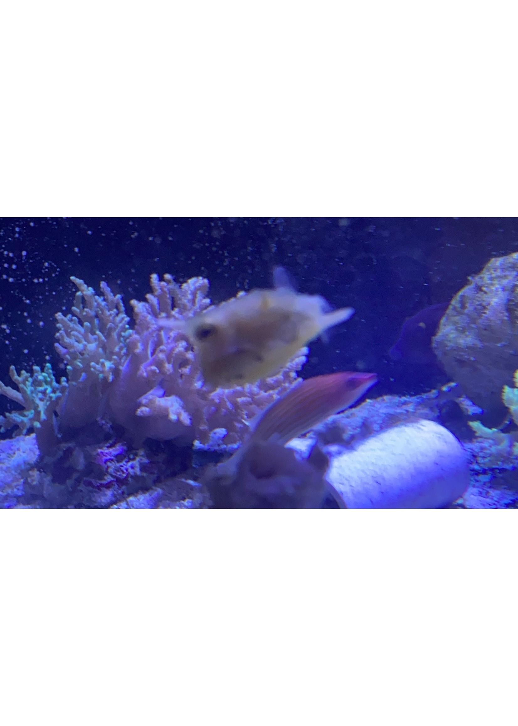 Cowfish Long Horn Cow Fish