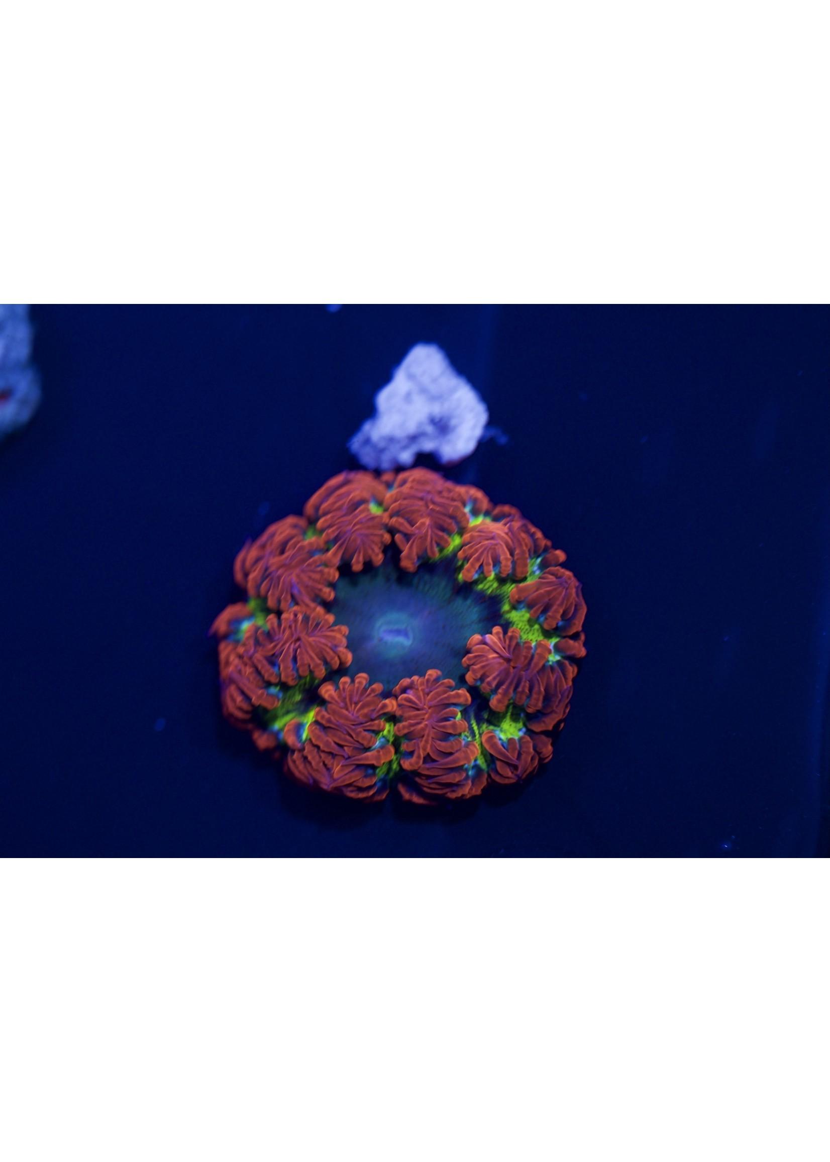 Rock flower Anemone Rock Flower Anemone  Ultra