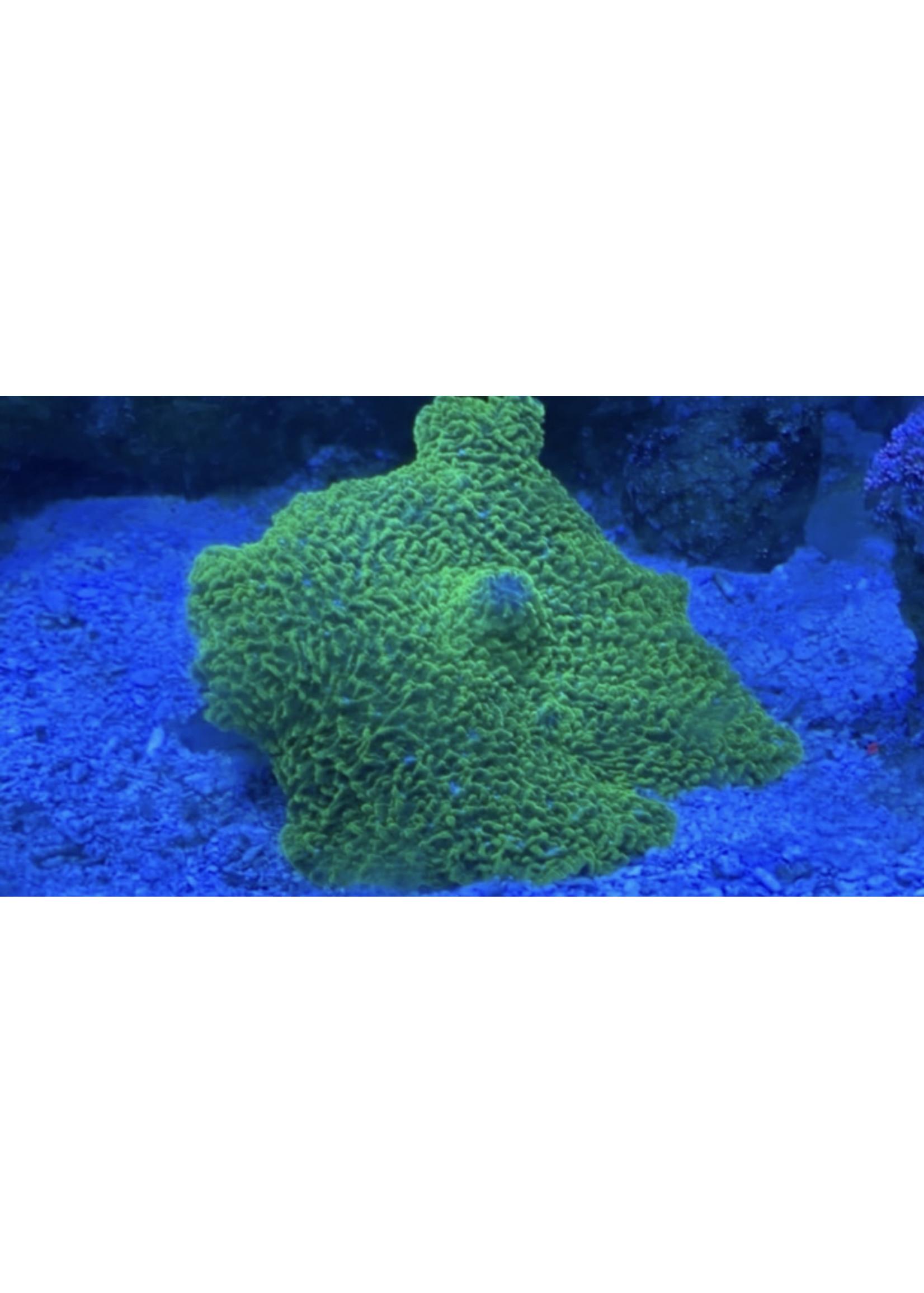 Elephant Ear Mushroom Coral