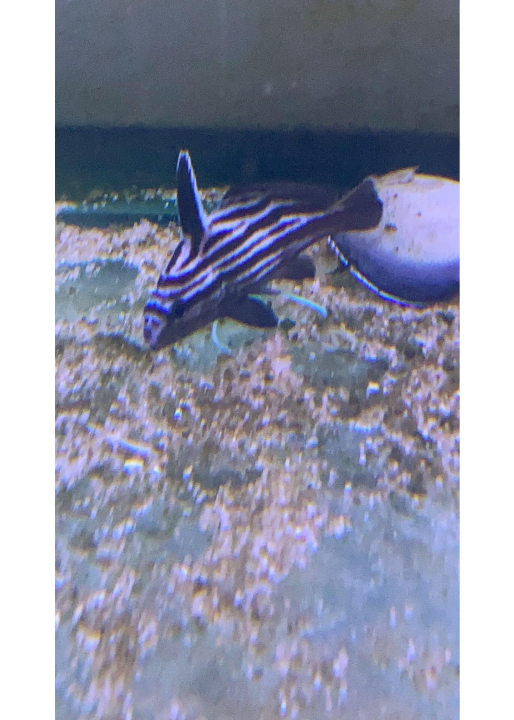 HI-HAT ATL ( NEW FISH)