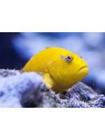 Hawkfish Golden Hawk fish