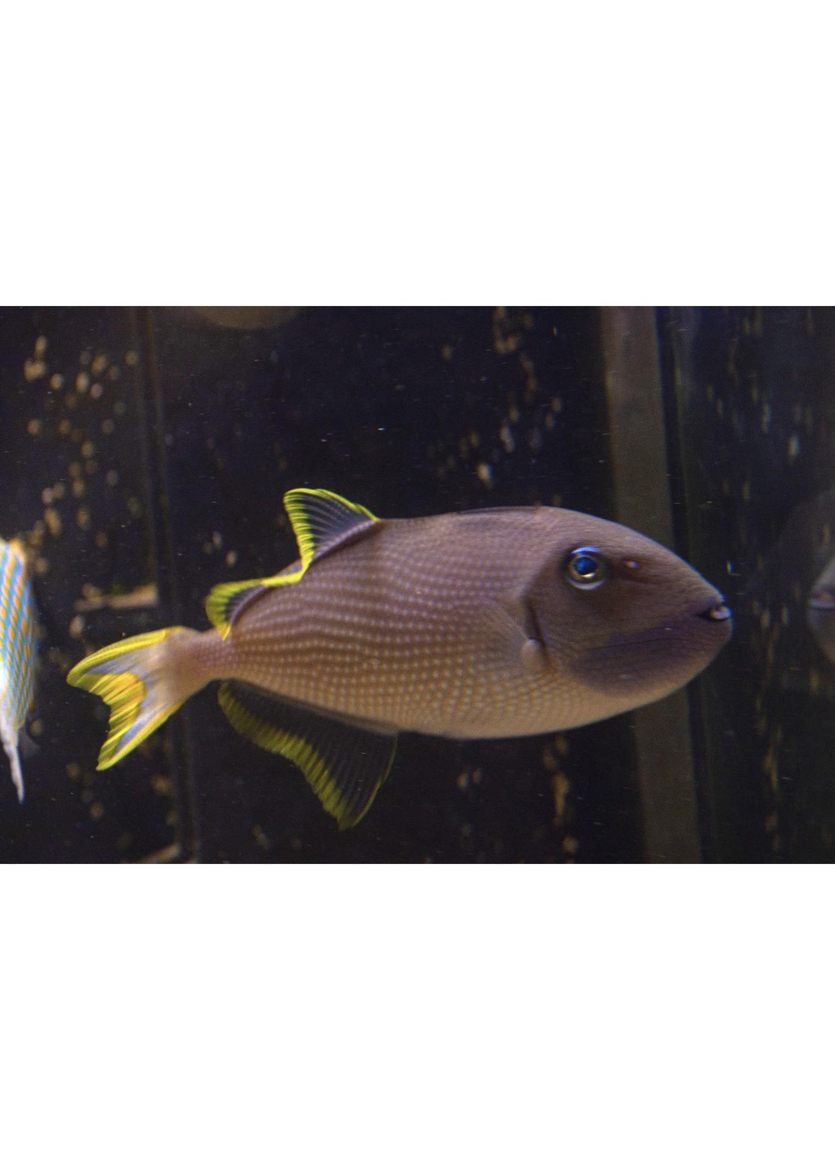 Triggerfish Blue Face Trigger  (F)