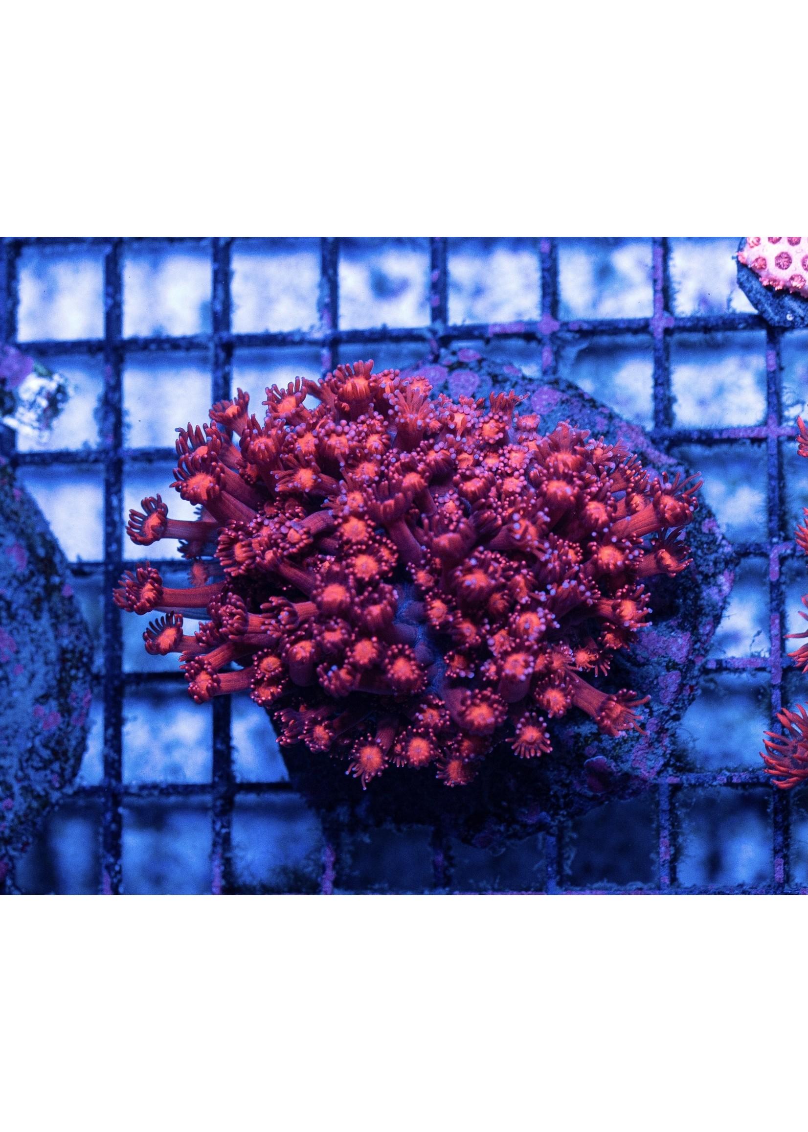Goniopora Indo Glitter Goniopora  WYSIWYG