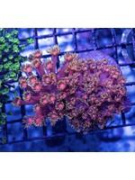 Goniopora Indo Double Headed Goniopora  WYSIWYG