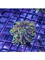Torch Indo Aqua Tip Gold Torch  WYSIWYG