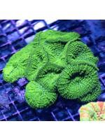 Mushrooms Indonesian Green Mushroom Rock  WYSIWYG
